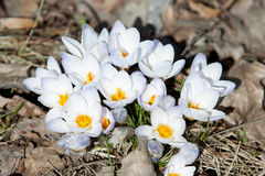 Spring crocuses in bloom - spring Royalty Free Stock Photo