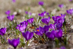 Spring crocuses in bloom - spring Stock Photography