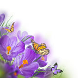 Spring crocuses with butterfly Royalty Free Stock Photography