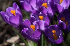 Spring crocuses closeup. Closeup of spring crocus petals with bright colors royalty free stock photo