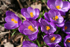 Spring crocuses closeup Stock Photos