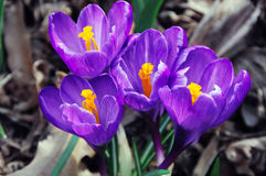 Spring Crocuses Royalty Free Stock Photography