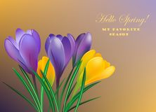 Spring crocuses. On the color background.Vector greeting card Royalty Free Stock Images