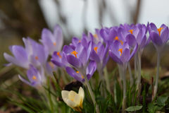 Spring crocuses Stock Photo