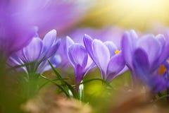 Spring crocuses, Crocus vernus Remembrance, in the garden. In springtime royalty free stock photography