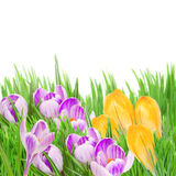 Spring crocuses in grass Stock Photo
