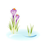Spring crocuses growing through snow Stock Photography