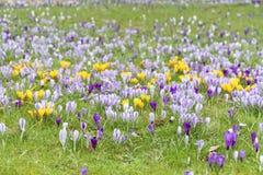 Spring crocuses Stock Image