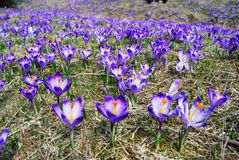 Spring Crocuses Meadow Royalty Free Stock Photos