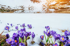 Spring crocuses in melting snow Royalty Free Stock Photography