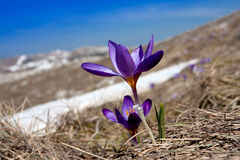 Spring crocuses Royalty Free Stock Image
