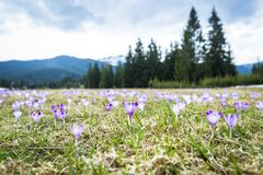 Spring crocuses in mountains Stock Images