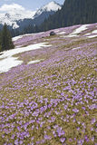 Spring crocuses in mountains Stock Image