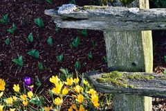 Spring Crocuses with Rail Fence Royalty Free Stock Image