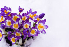 Spring Crocuses in snow Stock Photography