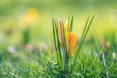 Spring crocuses on a sunny day. Shallow depth of field Royalty Free Stock Photos