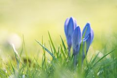 Spring crocuses on a sunny day. Shallow depth of field Stock Images