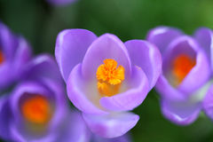 Spring crocuses from the top. Top view of spring crocuses with bright colors Stock Photos