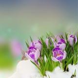Spring crocuses under snow Stock Image