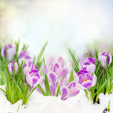 Spring crocuses under snow Stock Photo