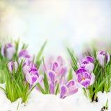 Spring crocuses under snow stock photo