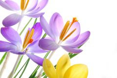 Spring crocuses in vibrant colors Stock Image