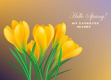 Spring crocuses. Yellow spring crocuses on the color background.Vector greeting card Stock Photos