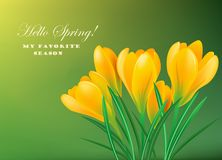 Spring crocuses. Yellow spring crocuses on the green background.Vector greeting card Royalty Free Stock Photo