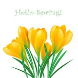 Spring crocuses. Yellow spring crocuses on the white background.Vector greeting card Stock Photos