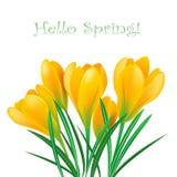 Spring crocuses Stock Photos