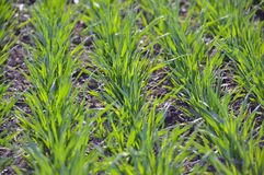Spring crops of winter wheat. Which grow in rows and are in good condition Stock Images