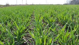 Spring crops of winter wheat. Which grow in rows and are in good condition Stock Photography