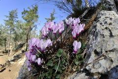 Spring Cyclamen flowers. Stock Photos