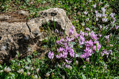 Spring cyclamen, gentle purple flowers near big rock Royalty Free Stock Image