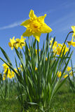 Spring daffodil. Flowers as Spring arrives, these daffodils had only just opened royalty free stock photo