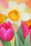 Spring daffodil Royalty Free Stock Photography