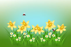 Spring daffodil background Royalty Free Stock Photography