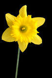 Spring daffodil on black Royalty Free Stock Photo