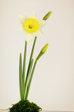Spring daffodil flowers Royalty Free Stock Photo