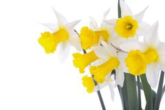 Spring daffodil flowers isolated over white Royalty Free Stock Photos