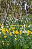 Spring daffodil garden and trees Stock Photo