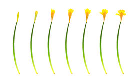 Spring daffodil growth. White background and clipping path Stock Photography