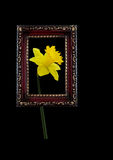 Spring daffodil seen through retro antique picture frame Royalty Free Stock Photography