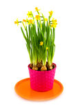 Spring daffodills Royalty Free Stock Image