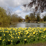 Spring Daffodills by an English River Royalty Free Stock Photo