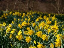 Spring daffodils Royalty Free Stock Photography