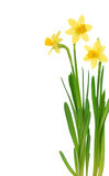 Spring daffodils Stock Photo