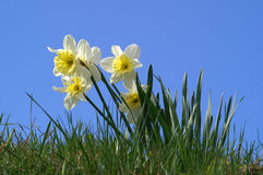 Spring daffodils. And green grass against a cloudless blue sky Stock Images