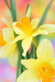 Spring Daffodils. Close up of spring daffodils stock photography