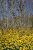 Spring Daffodils Stock Photo